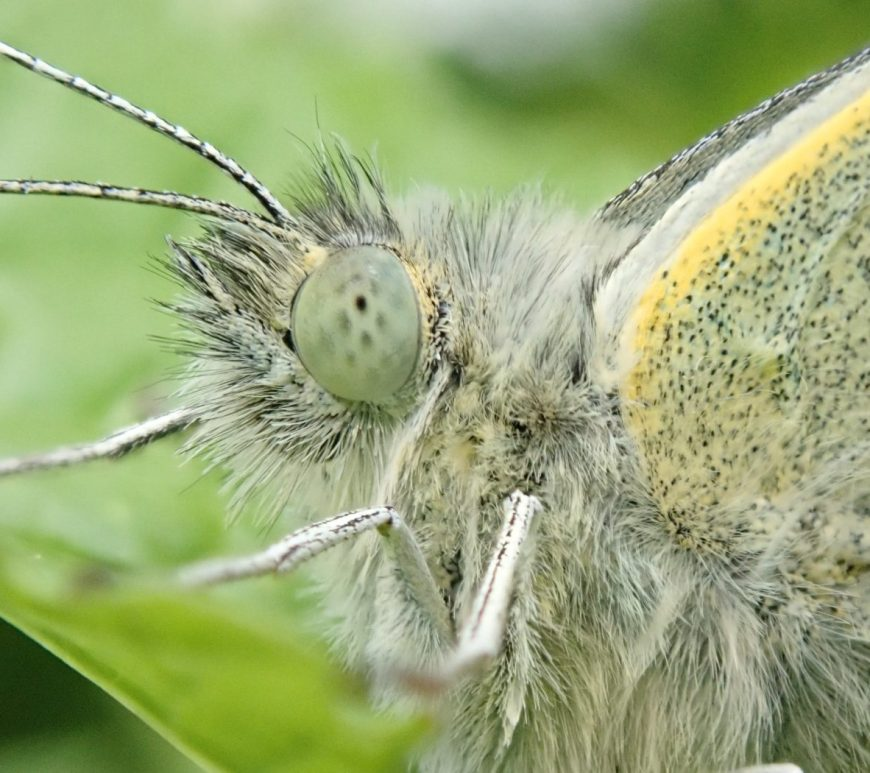 Close up of the head of a green-veined white butterfly