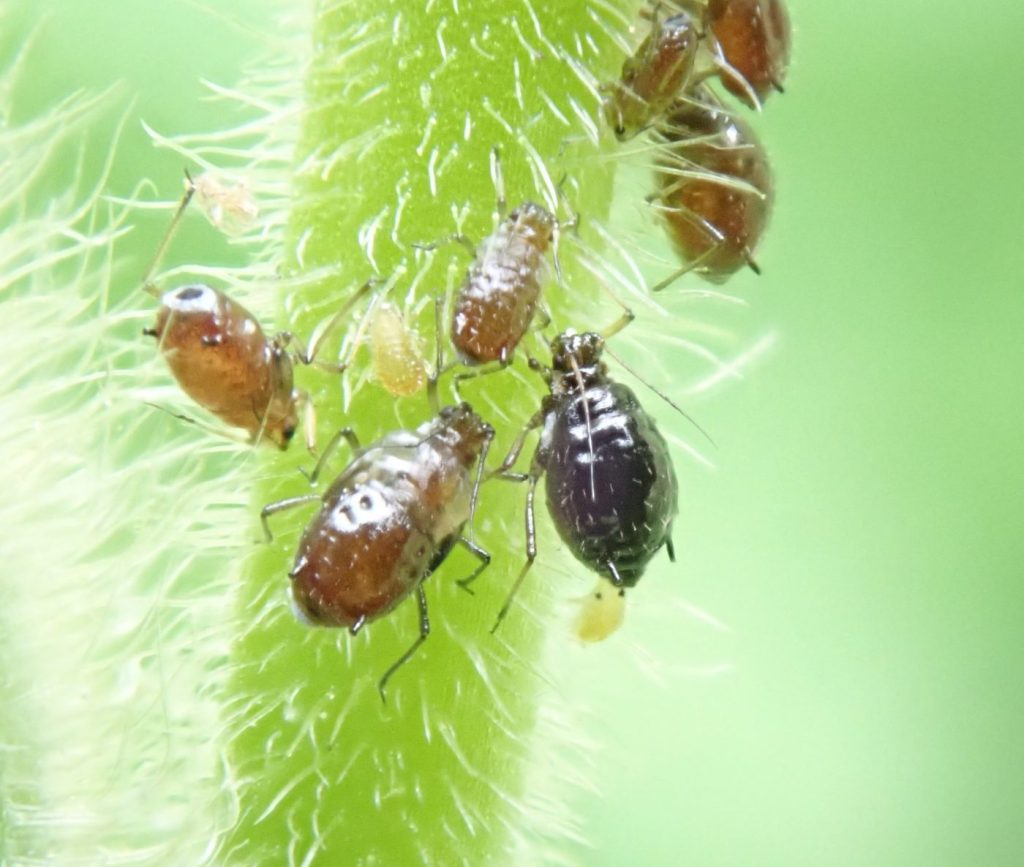 Photograph of aphids on a stem