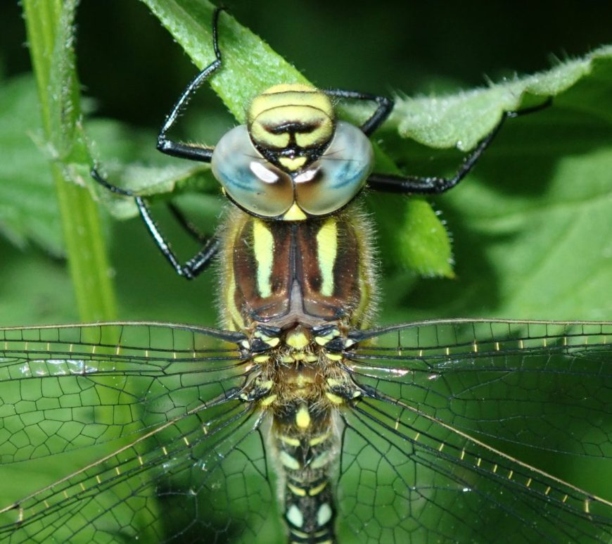 Photograph of a southern hawker dragonfly