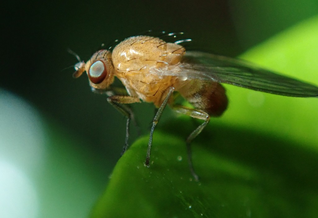 Photograph of a fruit fly