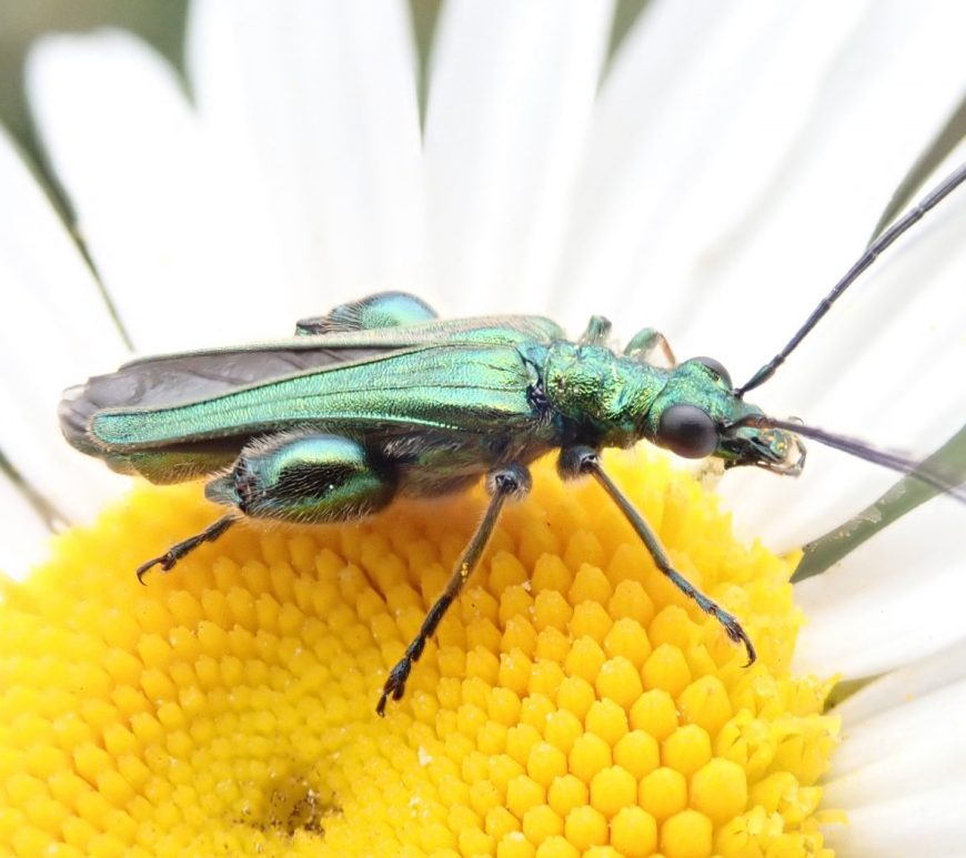 Photograph of a flower beetle in a flower
