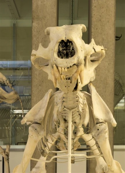 Photograph of a skeleton of a polar bear