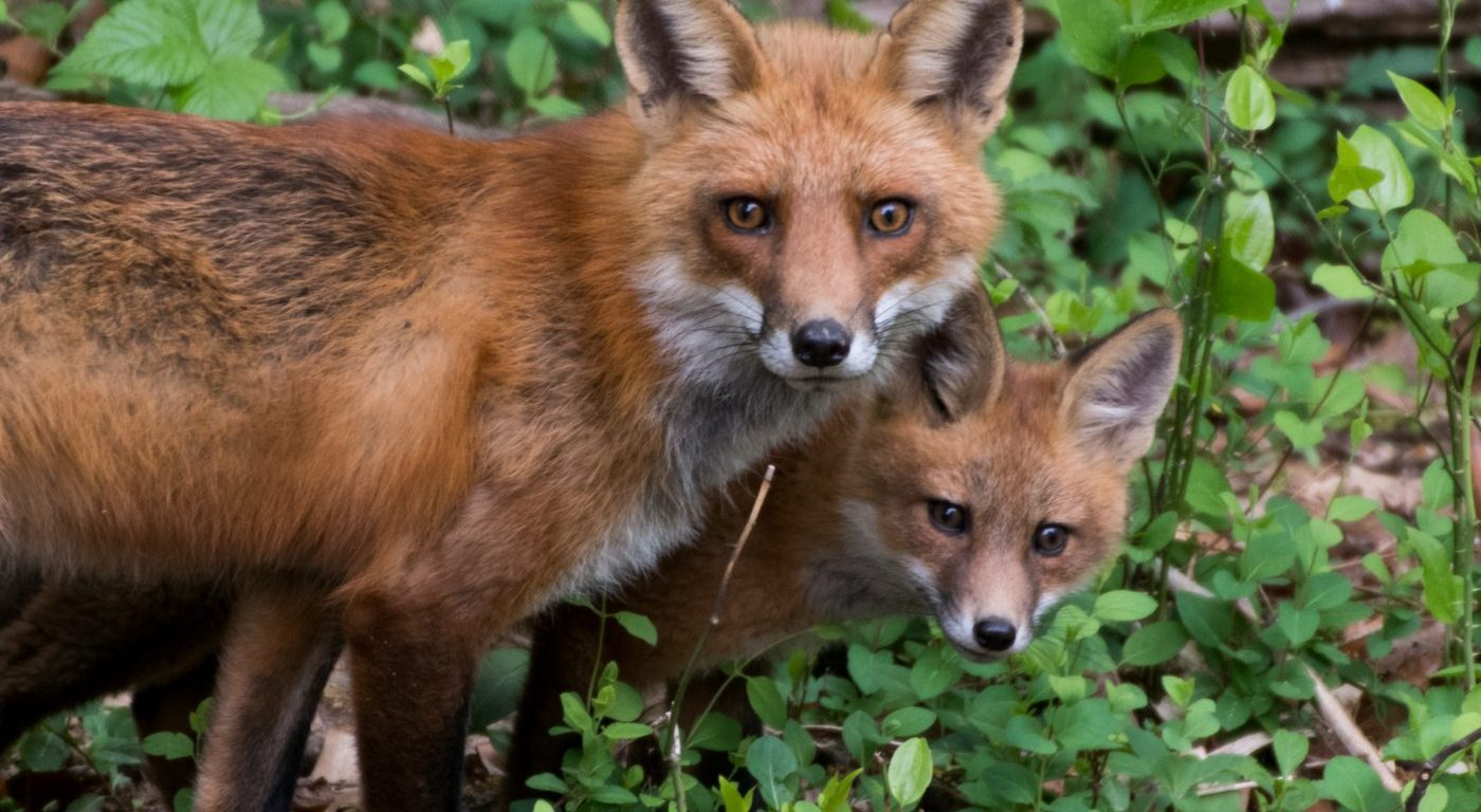 Photograph of a pair of foxes looking toward the viewer