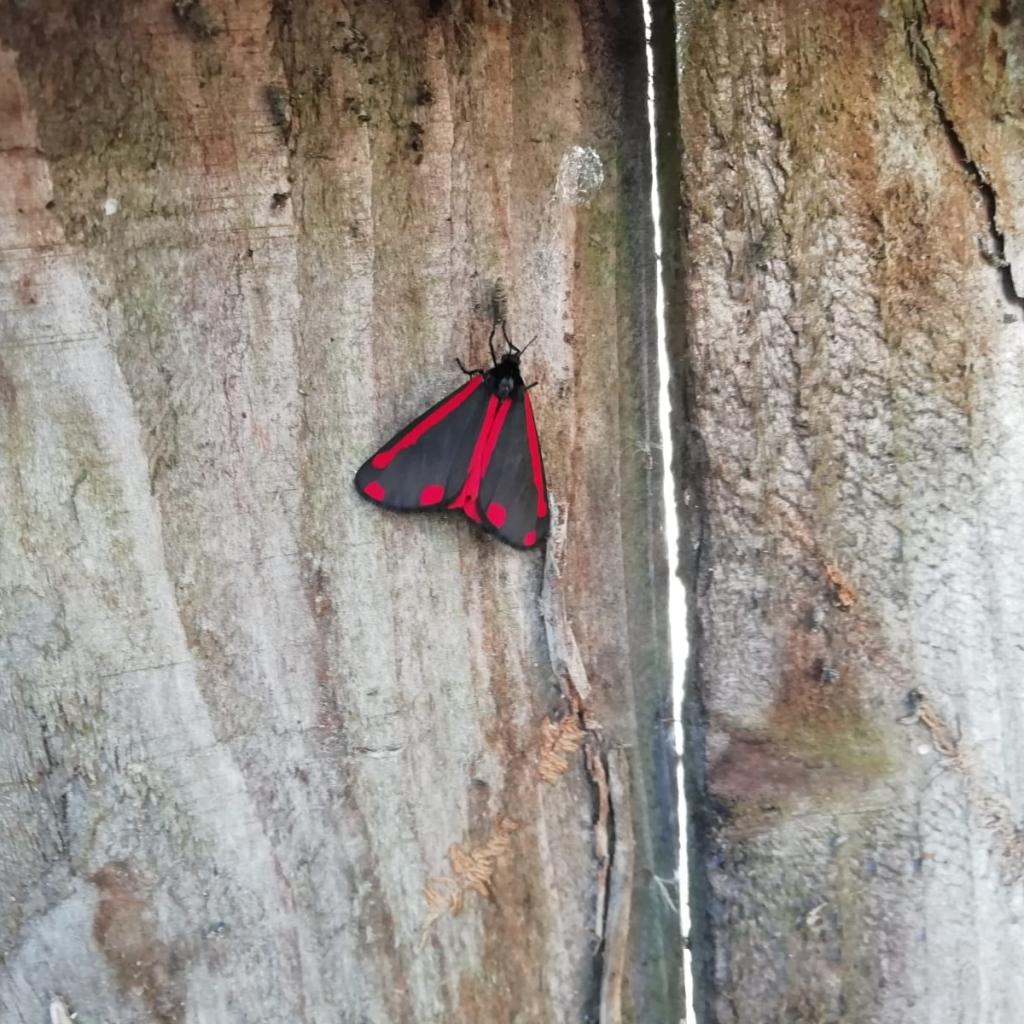 Cinnabar moth. Richard Preece