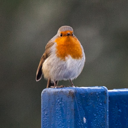 Photograph of a robin on a blue post