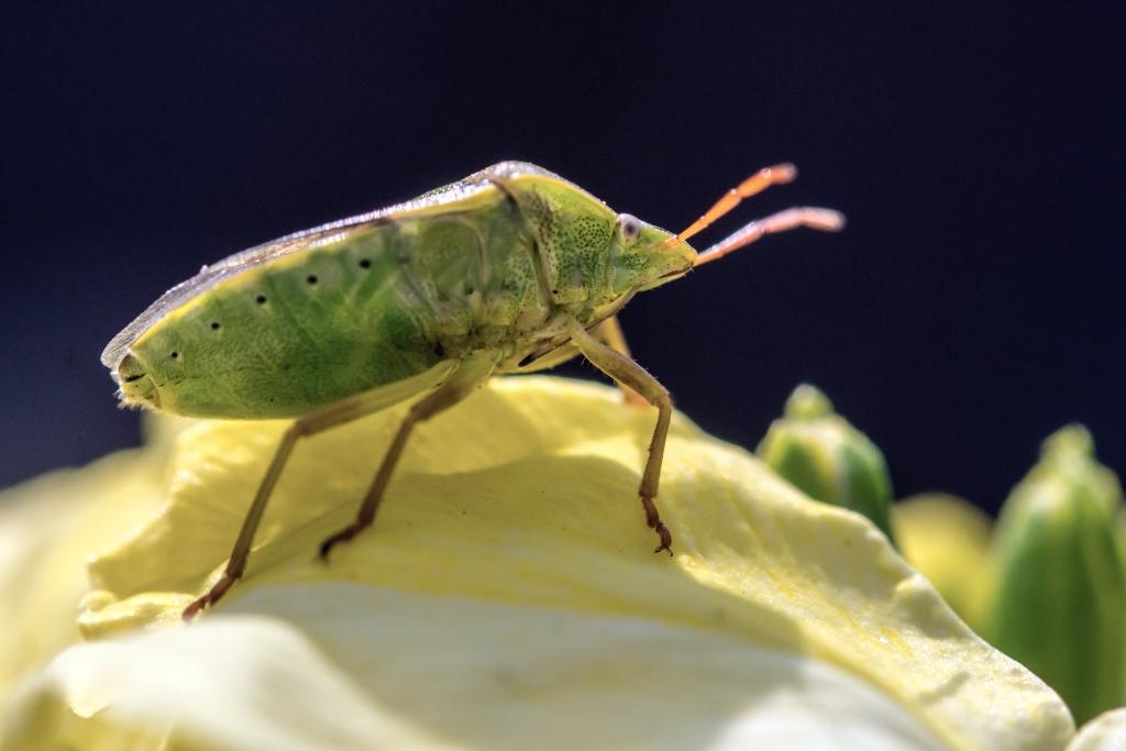 Photograph of a shield bug