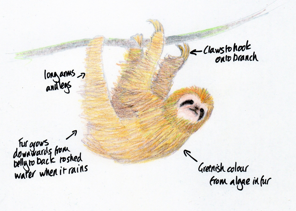 Annotated sketch of a three-toed sloth