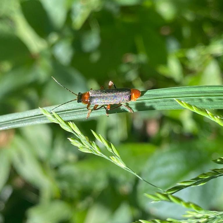 Soldier beetle. Natalie Jones (conservator)