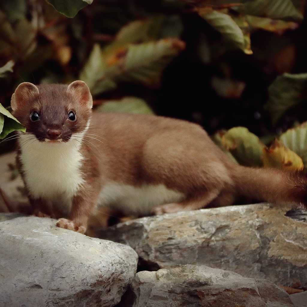 Photograph of a stoat