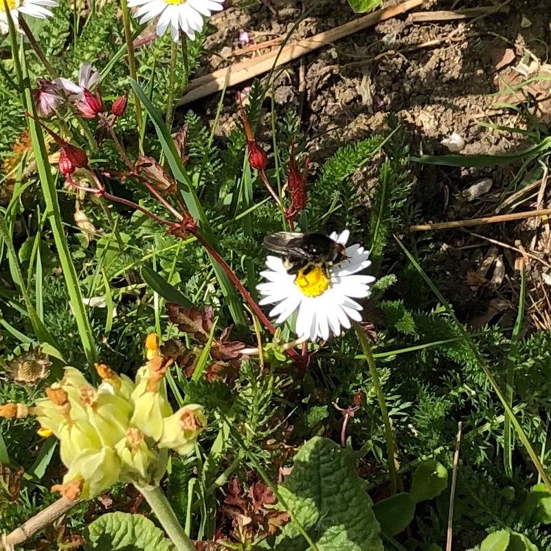 Bumblebee-mimic Fly on daisy. Sue Kearsey (museum volunteer)