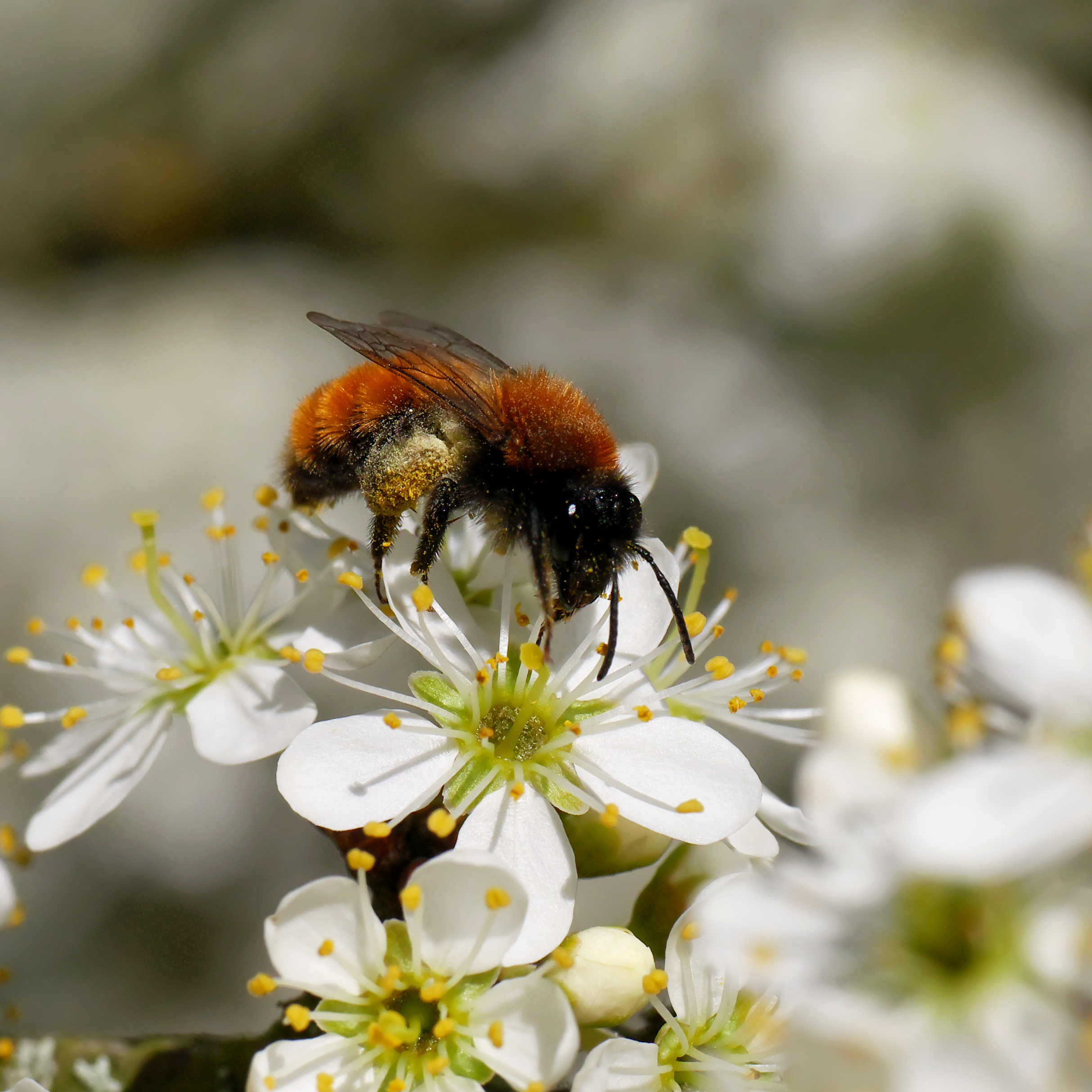 Photograph of a tawny mining bee on a flower