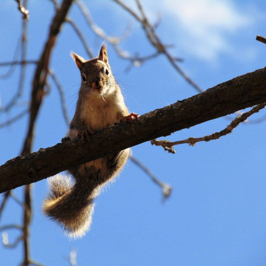 Squirrel (Canada). Veronica Price-Jones (museum volunteer)