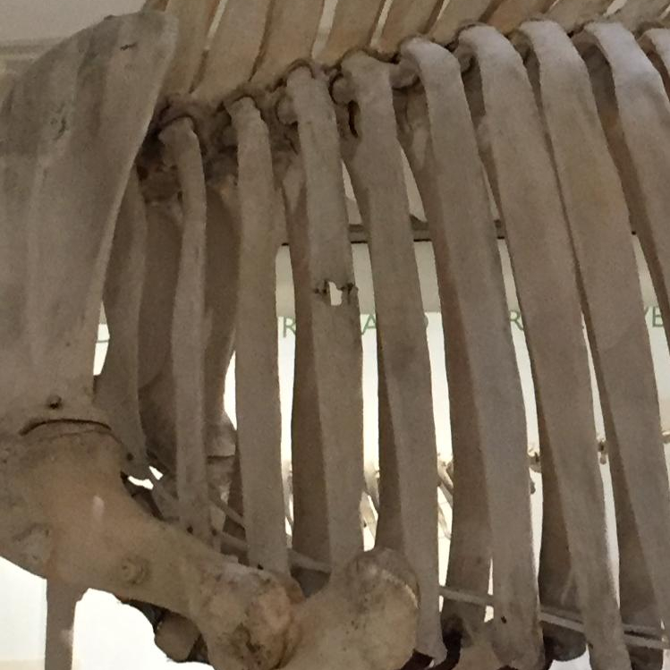 Museum of Zoology Rhinoceros specimen showing bullet hole in rib. Credit O Wilson