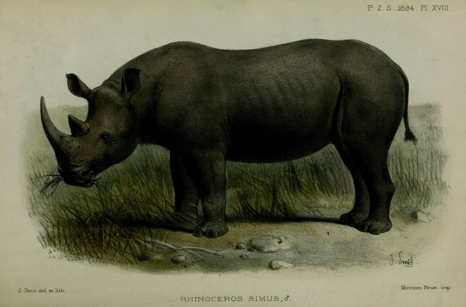 Figure from 'White Rhinoceros in Mashonaland', a paper written by R.T Coryndon for the Proceedings of the Zoological Society. Image by J. Smit