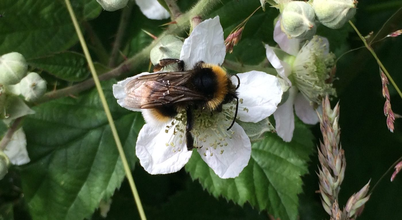 Photograph of a white-tailed bumblebee on a bramble