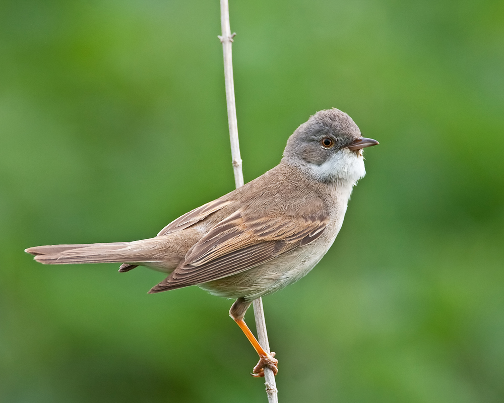 Photograph of a whitethroat