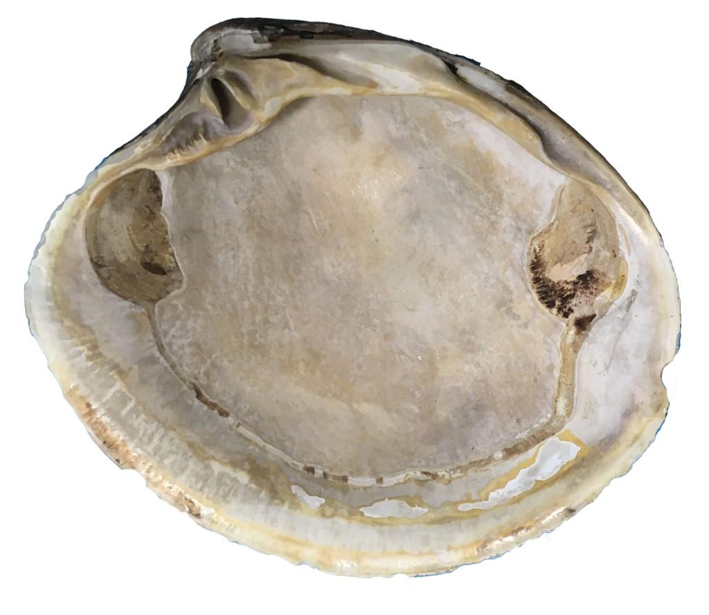 Photograph of the inside of an Ocean Quahog shell