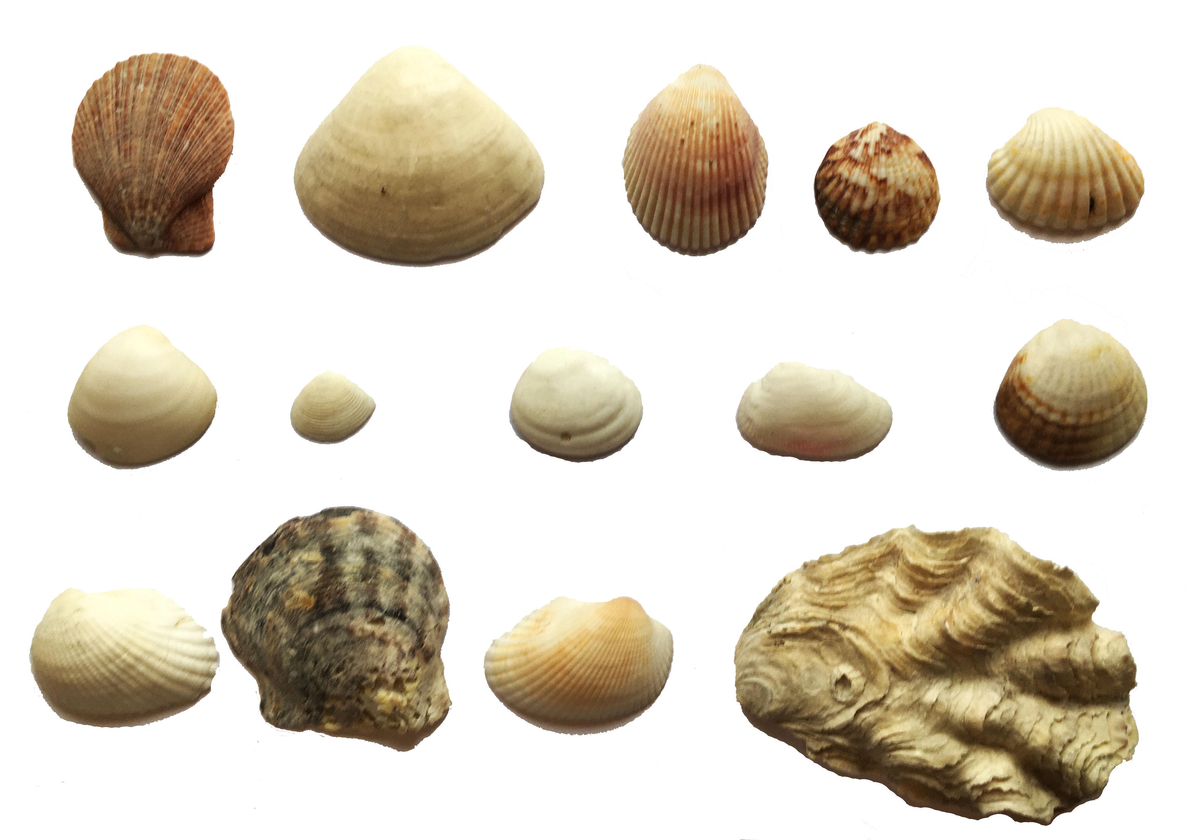 Photograph of a selection of bivalve molluscs