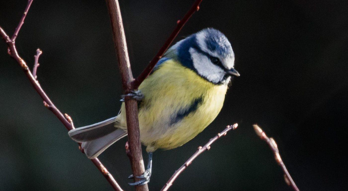 Photograph of a blue tit