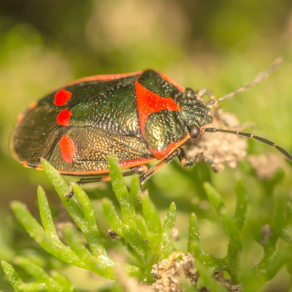 Photograph of a red and black bug