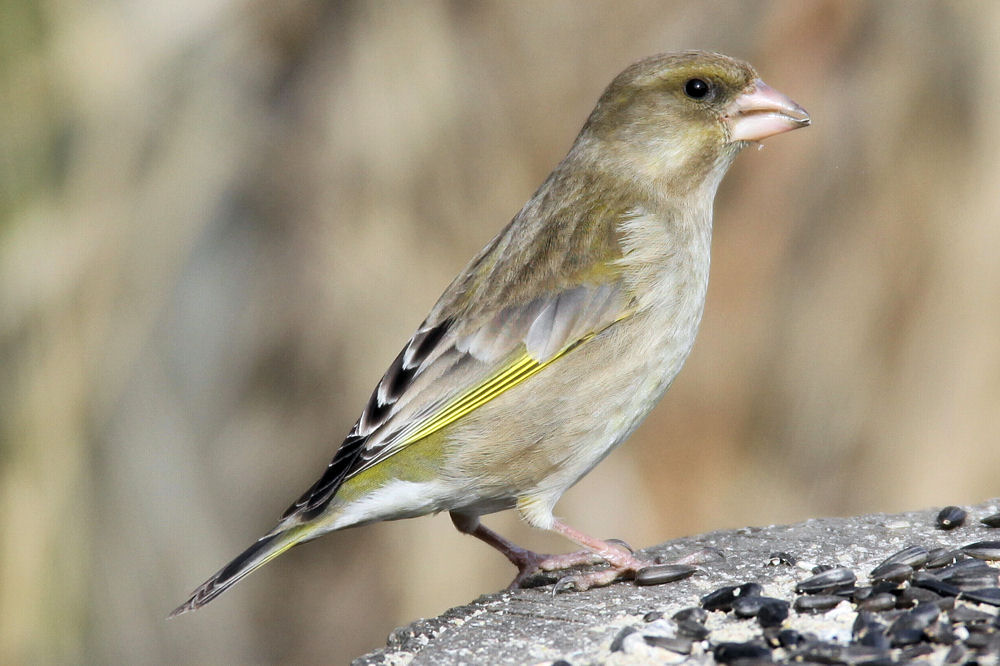 Photograph of a female greenfinch