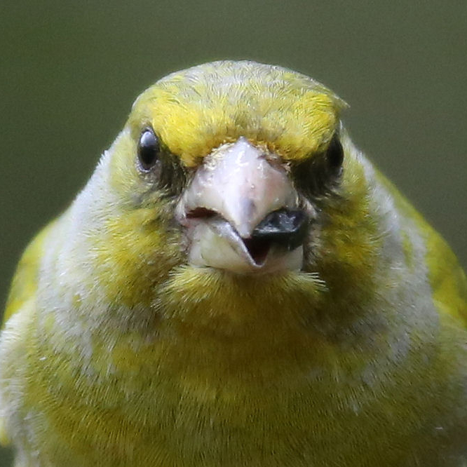 Photograph of a greenfinch eating a seed