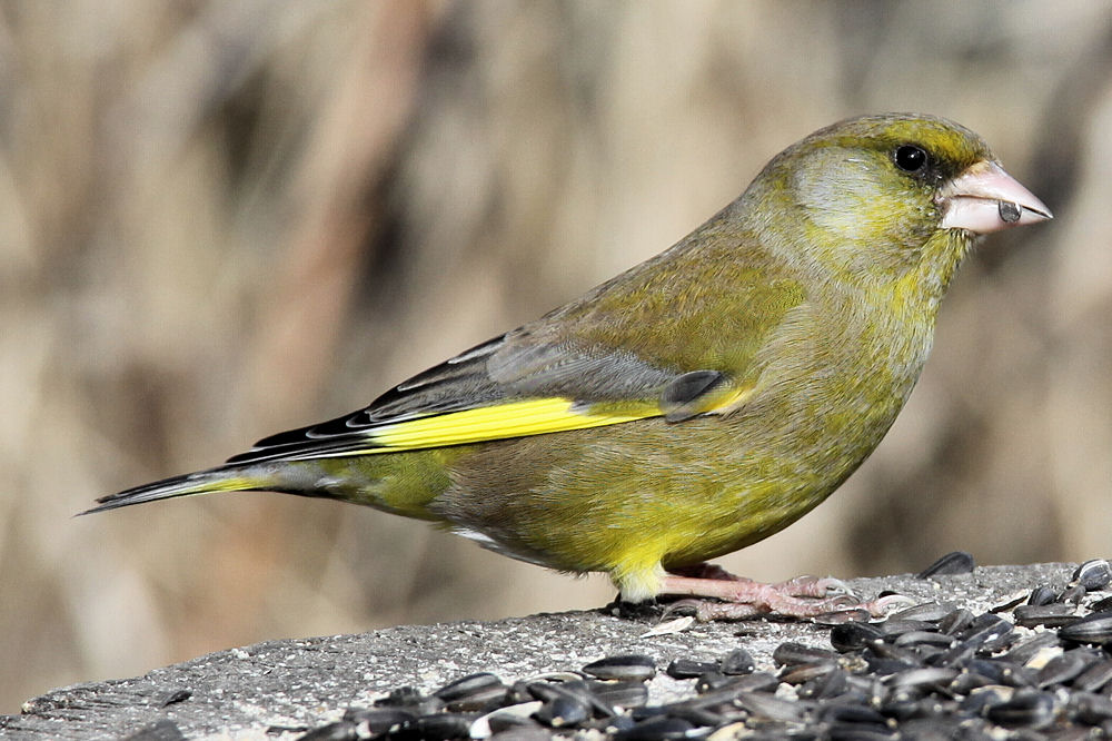 Photograph of a male greenfinch