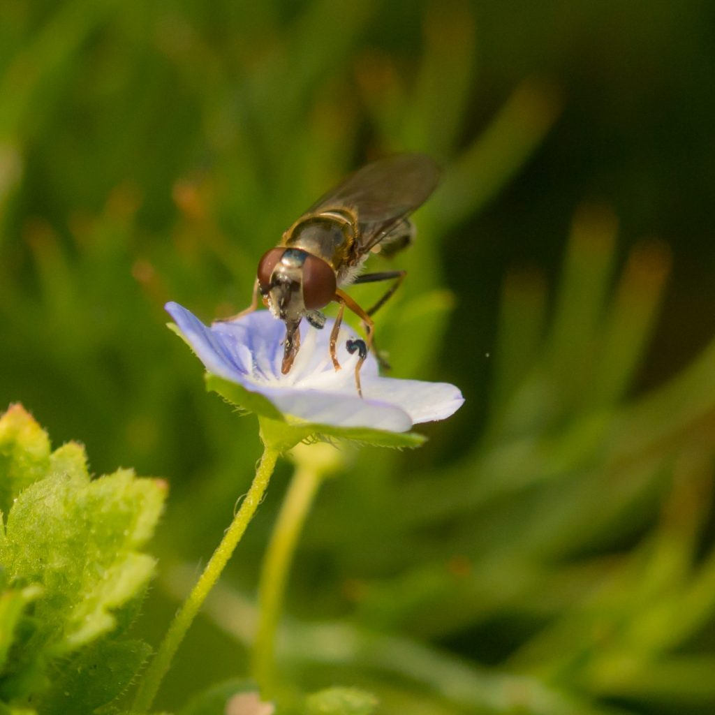Photograph of a fly on a flower