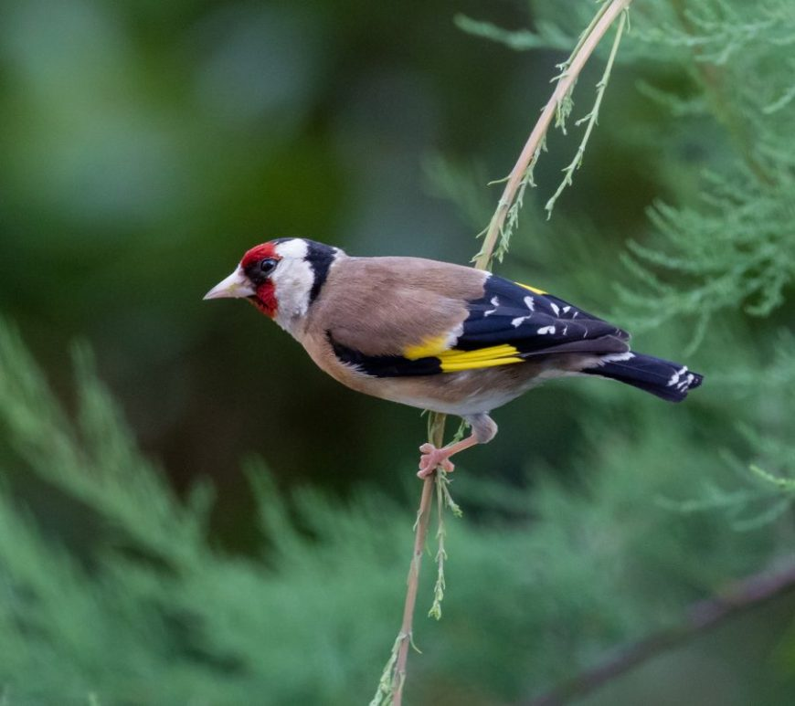 Photograph of a goldfinch in a conifer