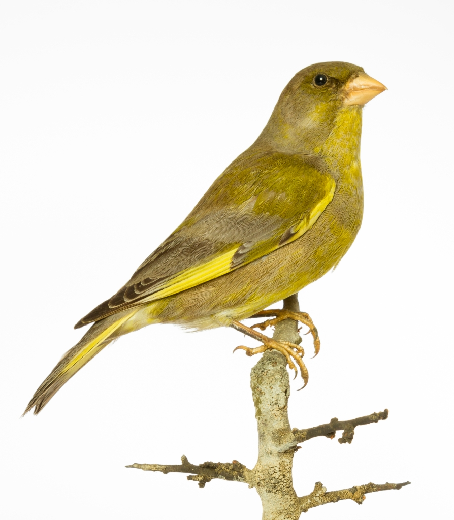Photograph of a greenfinch specimen from the Museum of Zoology