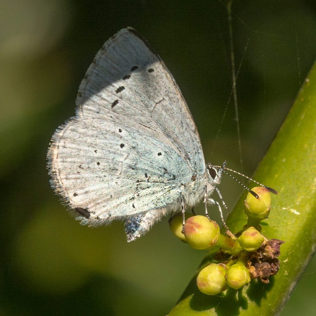 Photograph of a Holly Blue butterfly on a stem