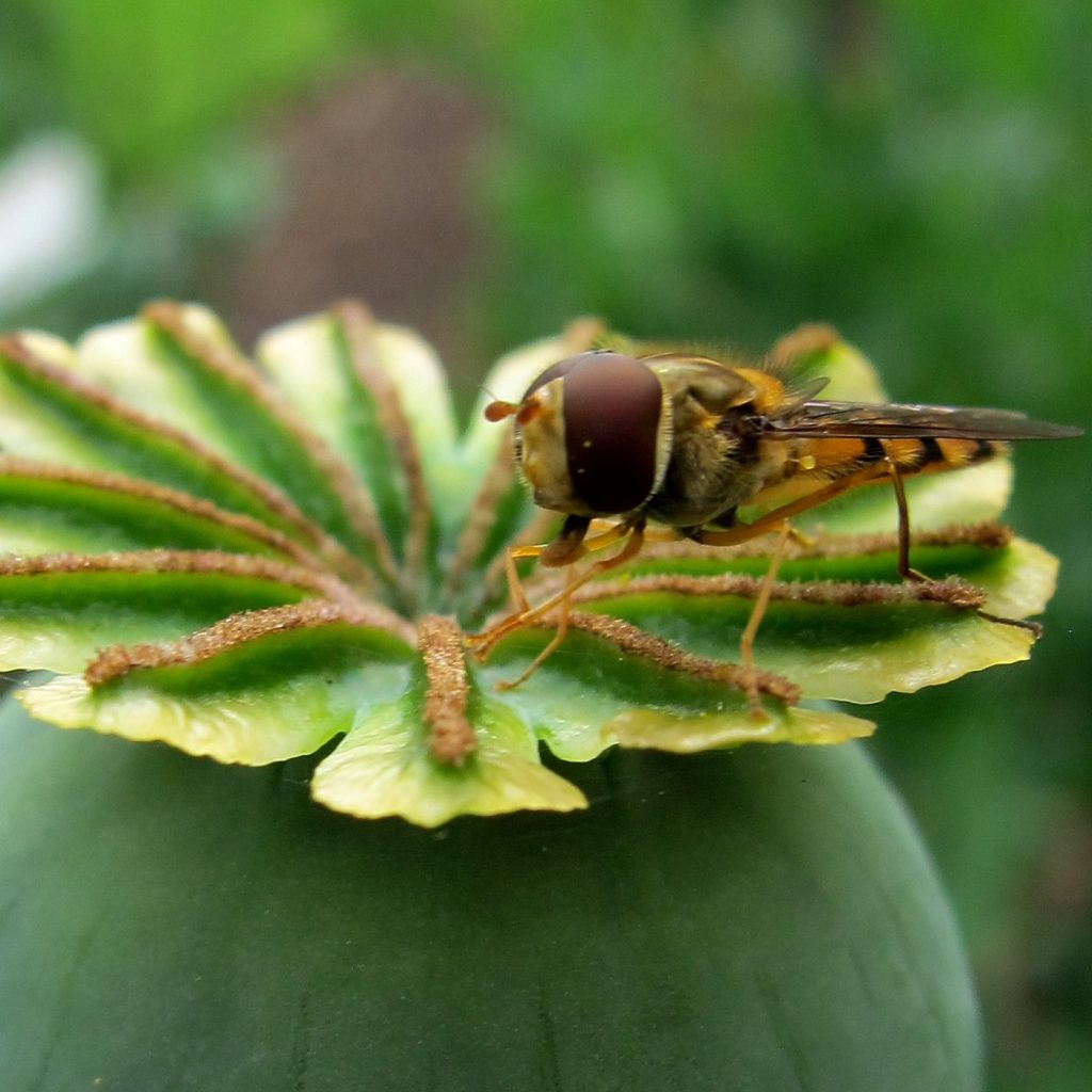 Photograph of a hoverfly on a poppy head