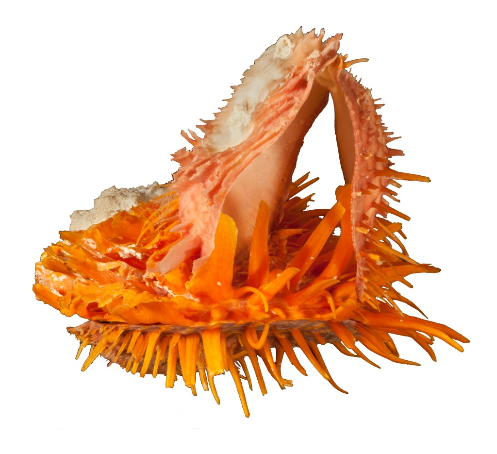 Photograph of spondylus shell