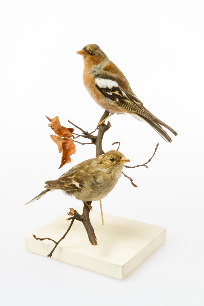Photograph of chaffinch specimens from the Museum of Zoology