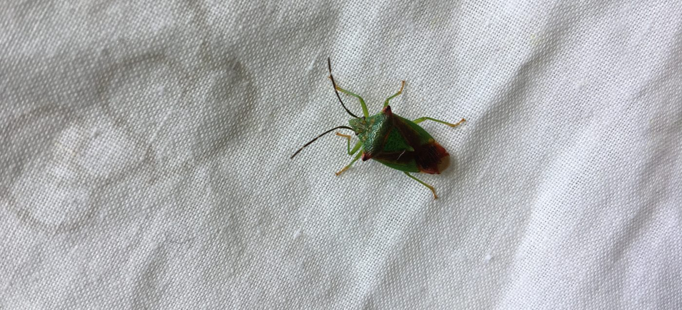 Shieldbug found on beat-net