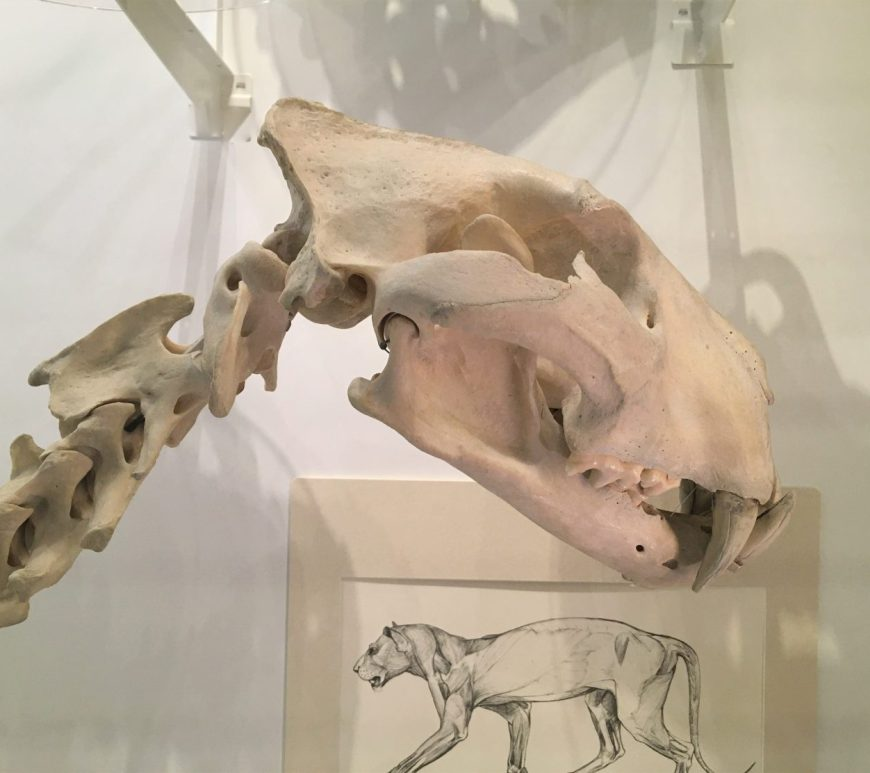 Photograph of a lion skull