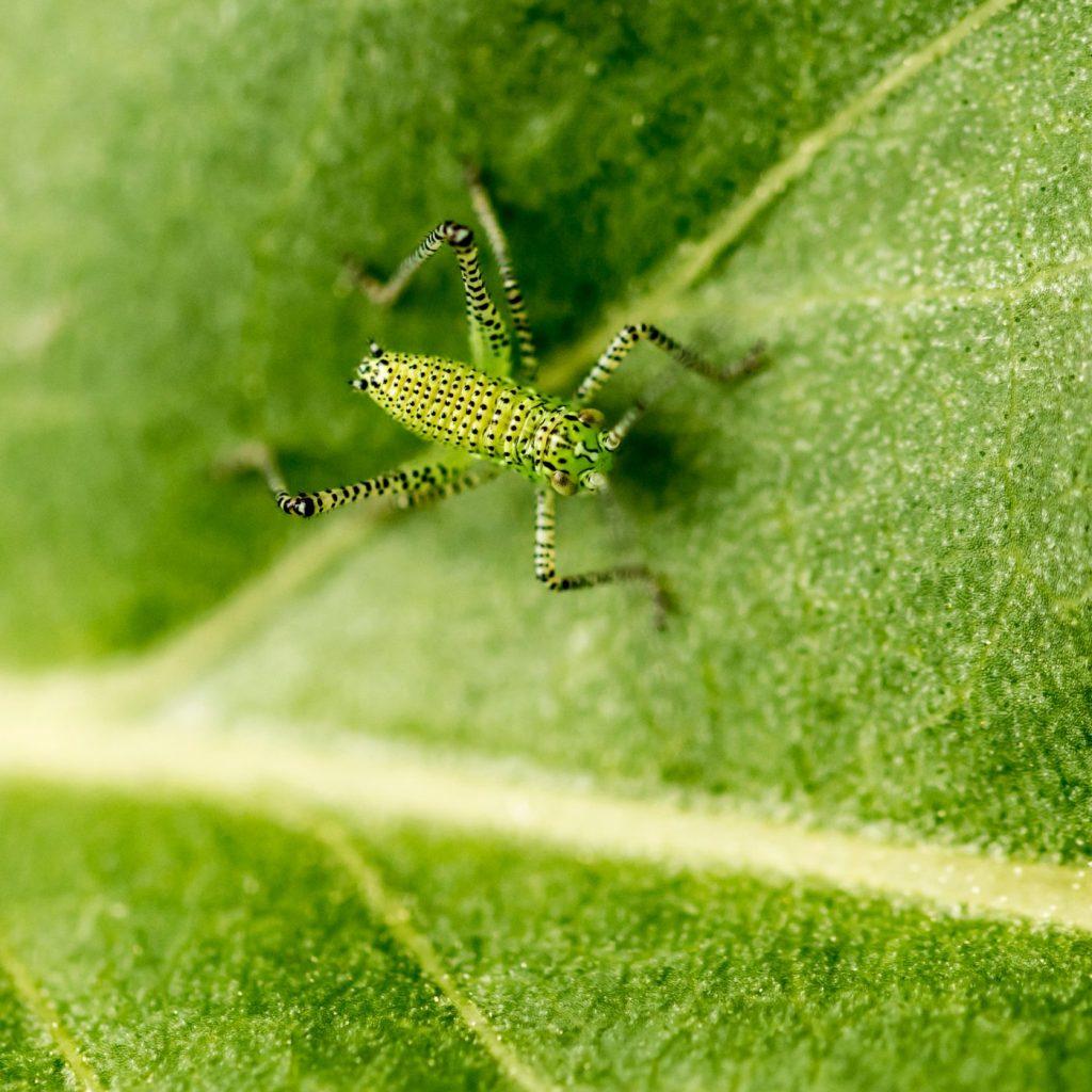 Photograph of a katydid on a leaf