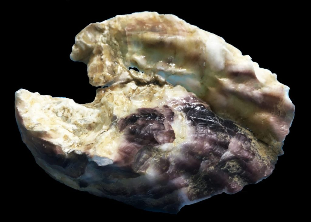 Photograph of two oysters cemented together