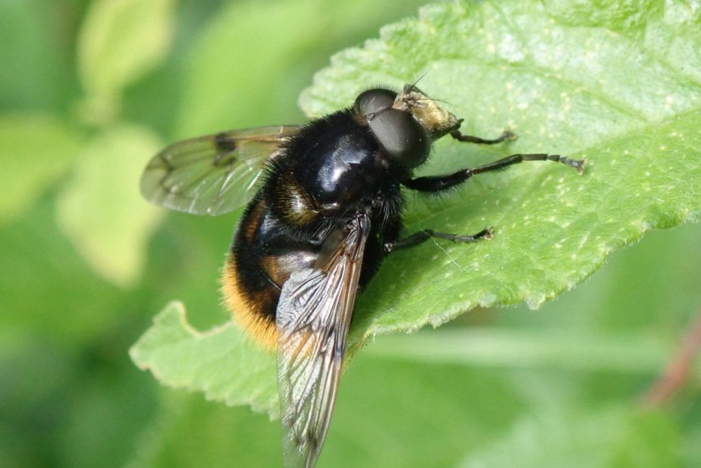 Photograph of a hoverfly bumblebee mimic