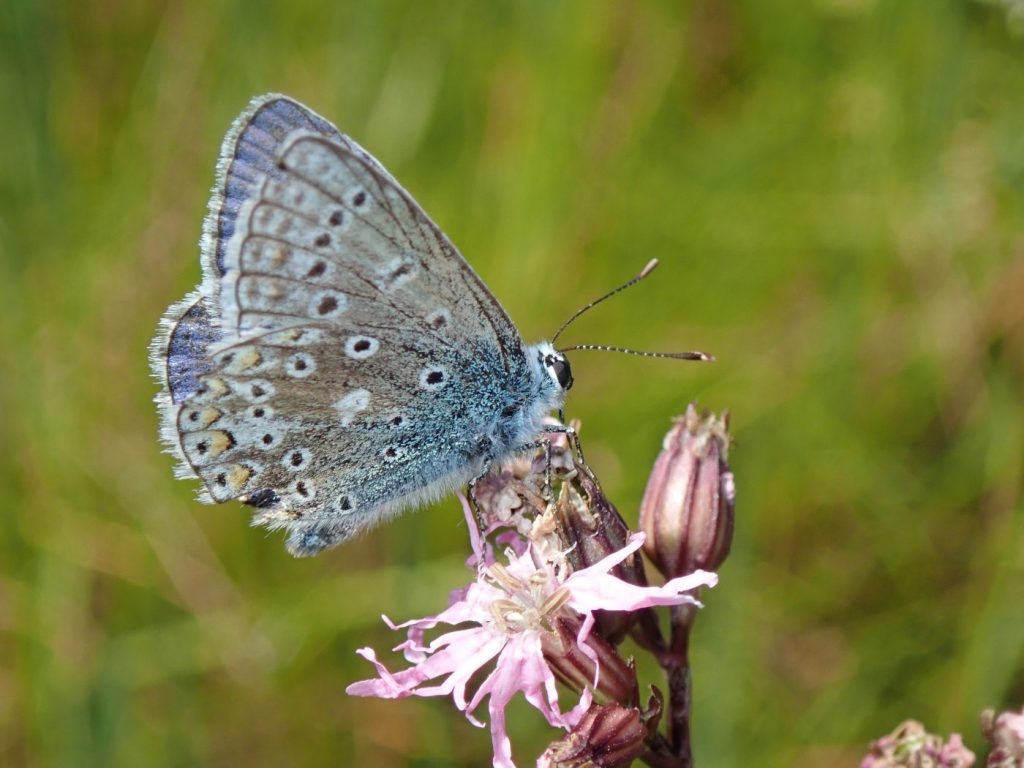 Photograph of a male common blue butterfly on a flower