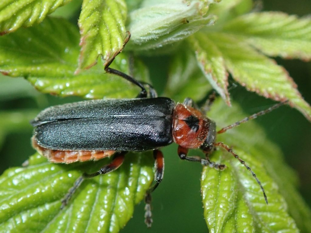 Photograph of a common soldier beetle