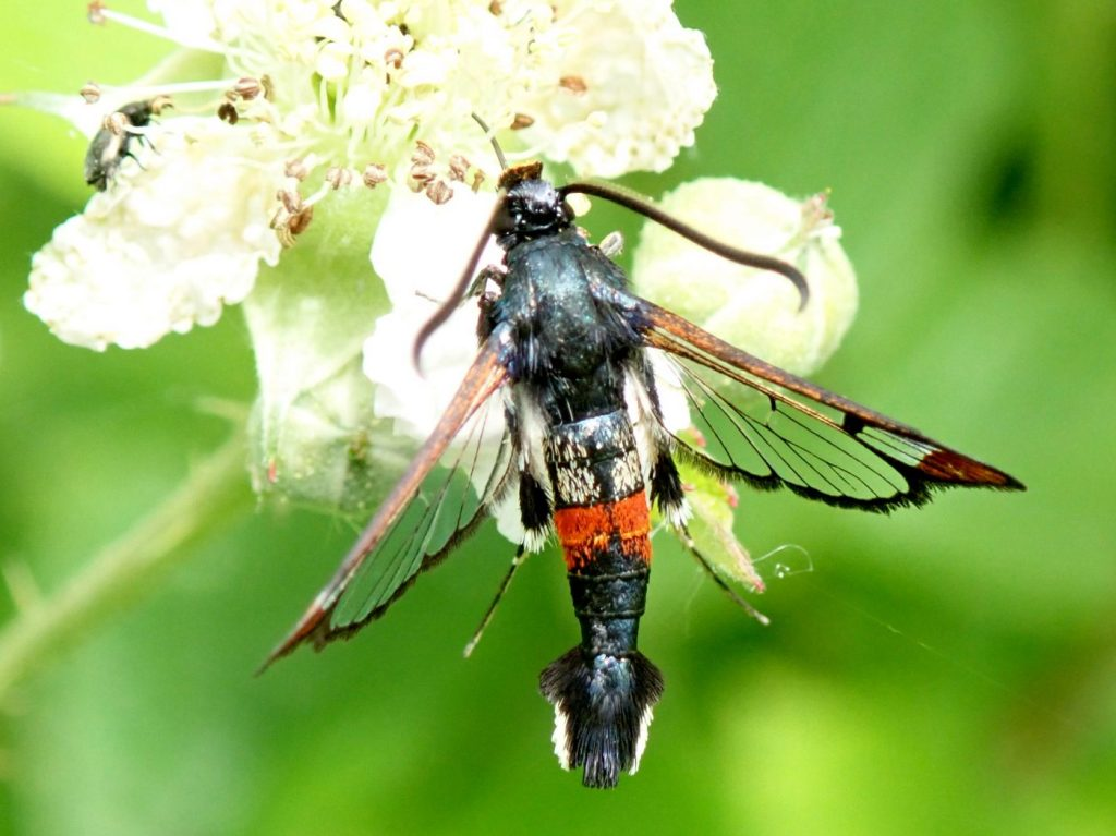 Photograph of a red belted clearwing moth