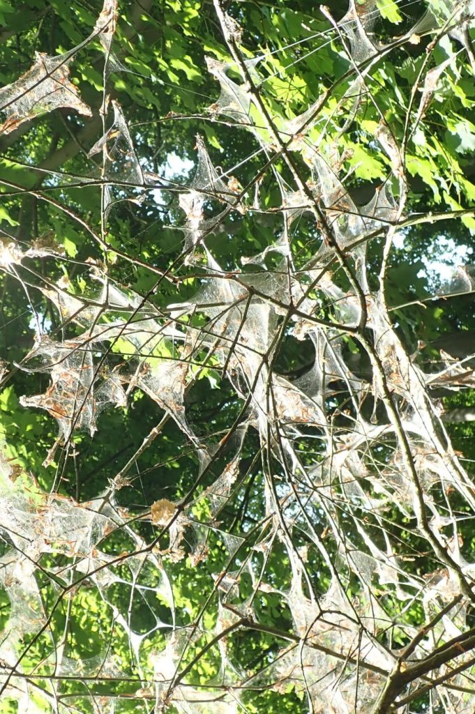 Photograph of ermine moth webs