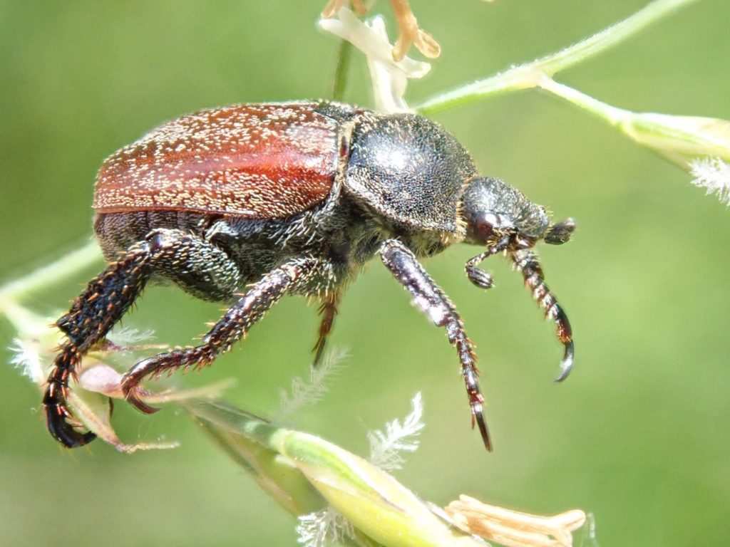 Photograph of a welsh chafer beetle