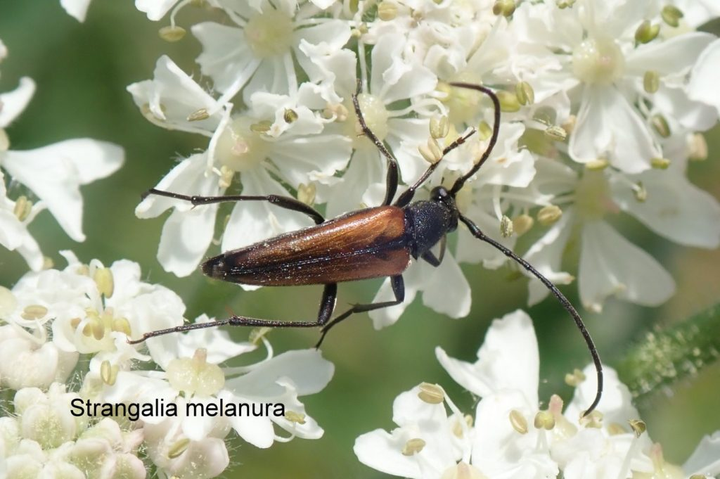 Photograph of a longhorn beetle on flowers