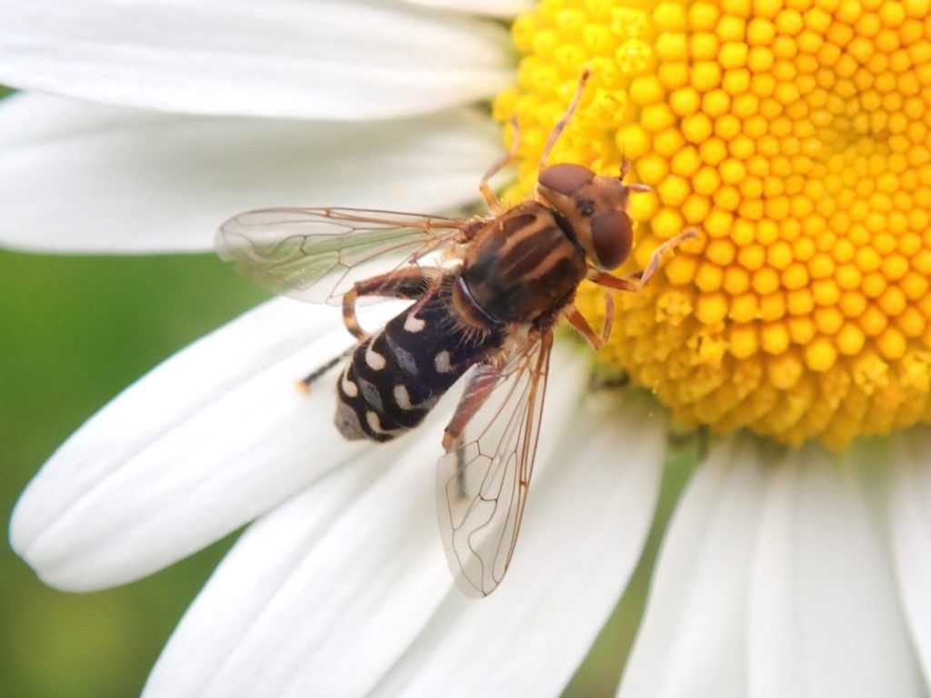 Photograph of a golf club hoverfly on a flower