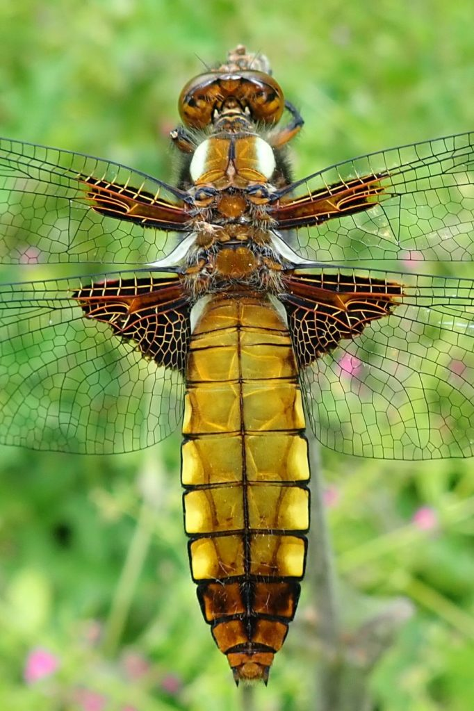 Photograph of a broad-bodied chaser