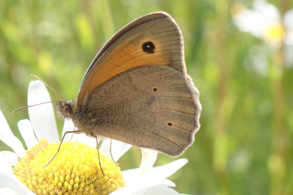 Photograph of a meadow brown on a flower