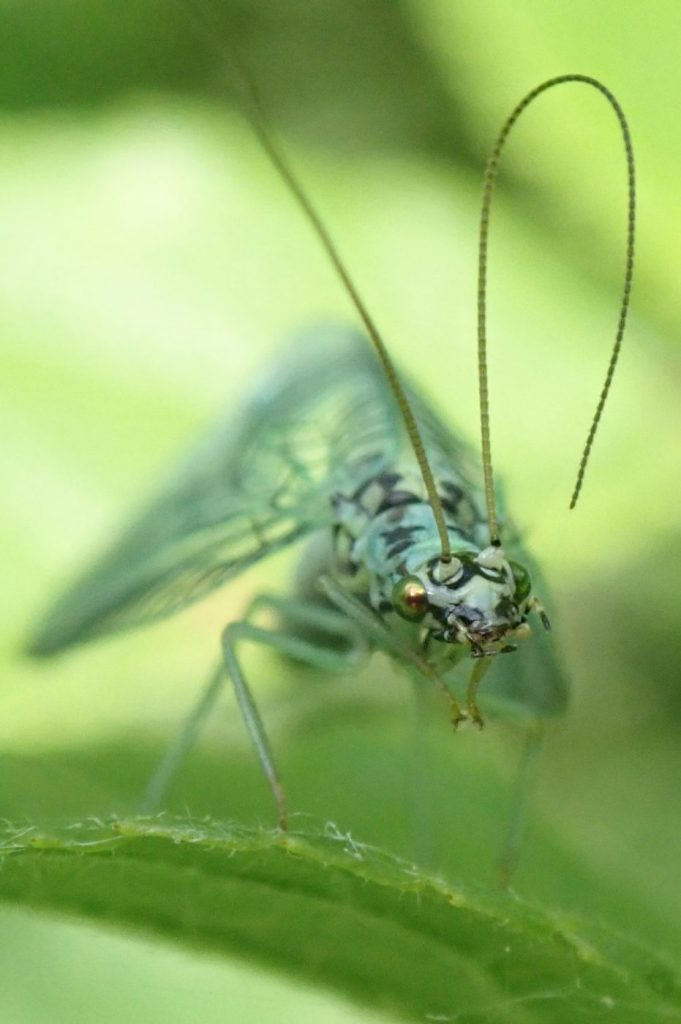 Photograph of the lacewing Chrysopa perla