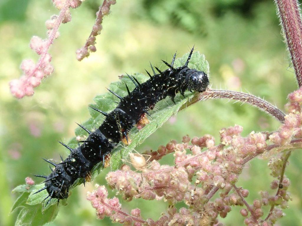 Photograph of a peacock butterfly caterpillar